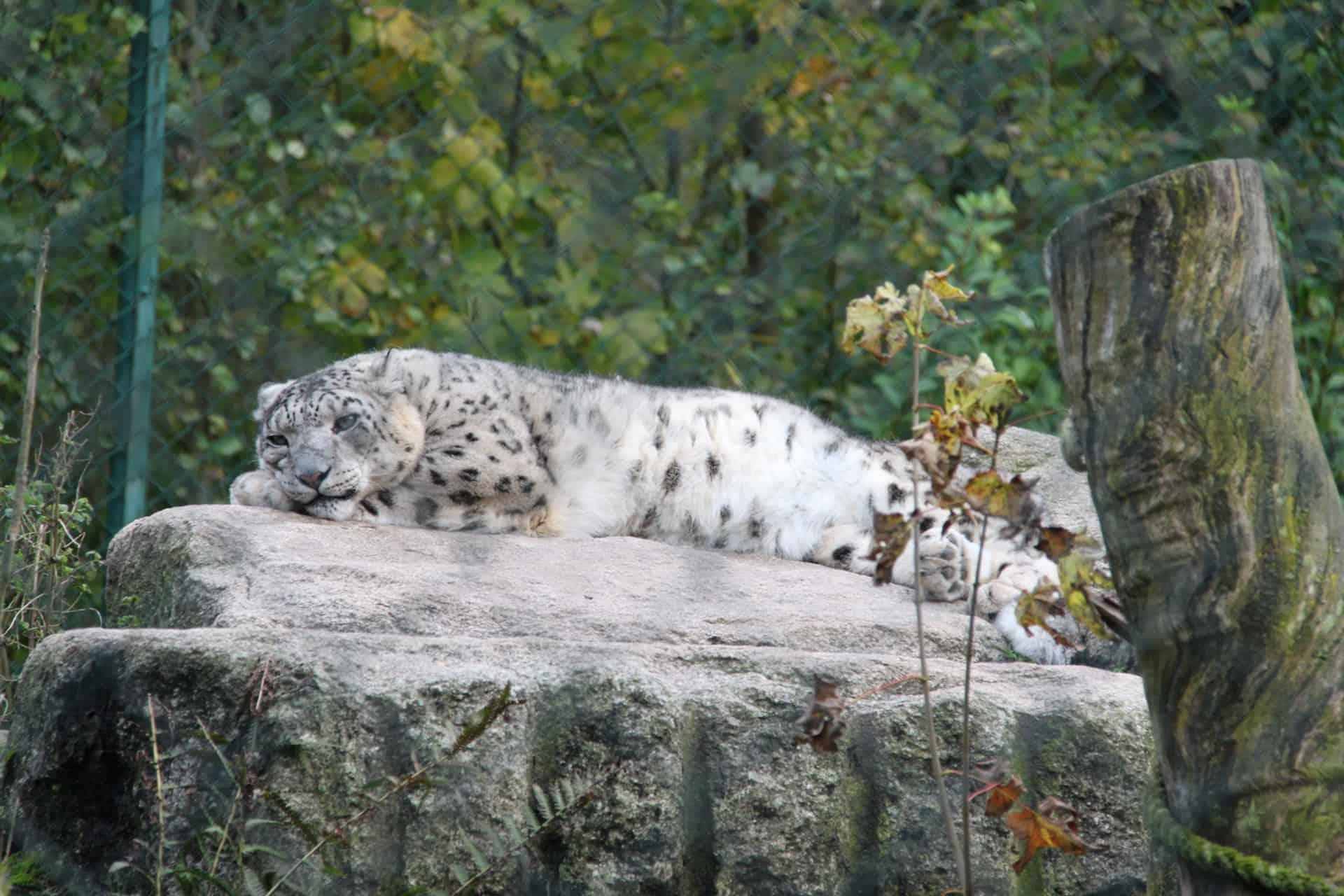 München_Tierpark_Hellabrunn_Schneeleopard
